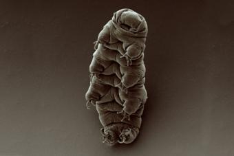 צילום של דובון מים במיקרוסקופ אלקטורנים | בוב גולדסטין וויקי מאדן UNC