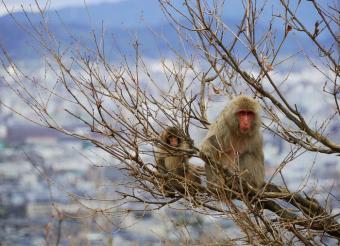 גם הם מתכוננים לחורף | קופי מקוק ביפן | צילום: Richard Fisher